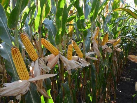 A martonvásári kukorica hibridekben nem fogsz csalódni