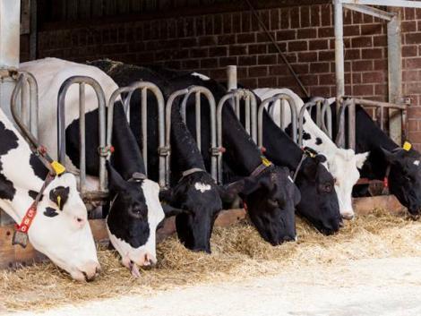Hínárt keverve a takarmányba a tehenek környezetbaráttá válnak