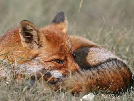 """Ebzárlat és legeltetési tilalom: """"oltják"""" a rókákat"""