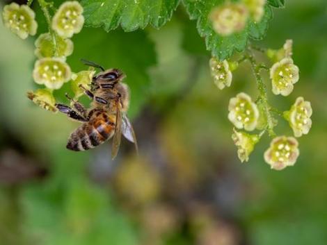 Újabb rovarölő szerről derült ki, hogy rendkívül veszélyes a méhekre