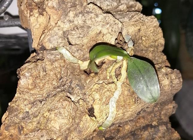 Orchidea (phalaenopsis)