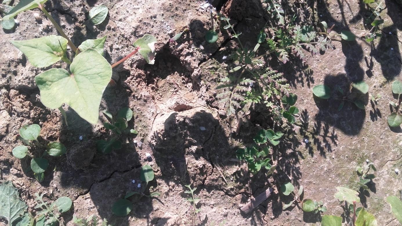 köztes növény
