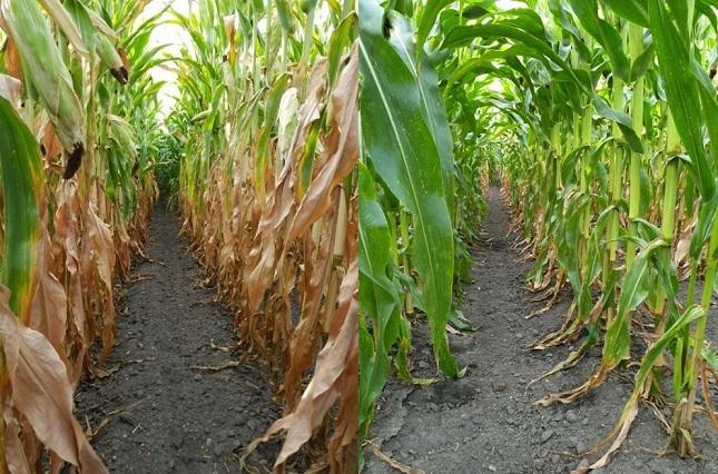 gyomirtóval kezeletlen és kezelt kukorica
