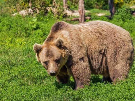 Romániában túlszaporodott a medveállomány – mi a megoldás az egyre égetőbb problémára?