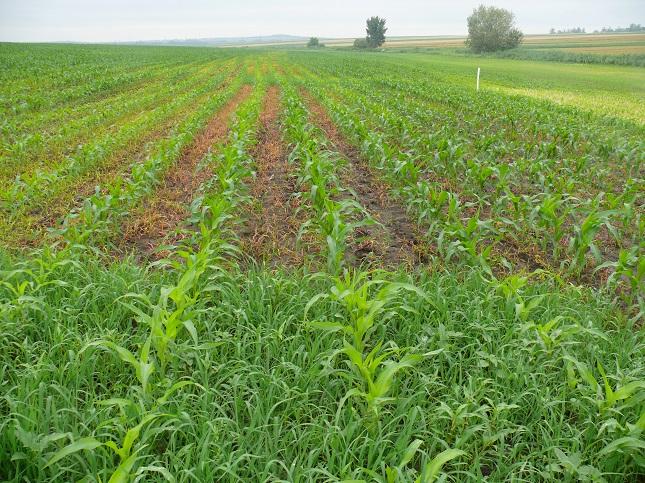 Elumis Bang gyomirtó hatása gyomnövényekkel erősen fertőzött kukoricában