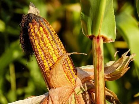 Enyhítheti a GMO szabályozást az EU? Ismét fellángolt a tiltakozás