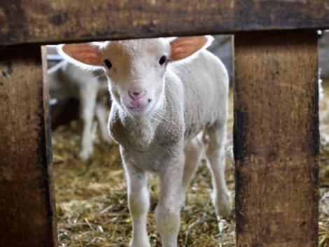 Viszik a magyar bárányt mint a cukrot – ezekben az országokban a legnépszerűbb