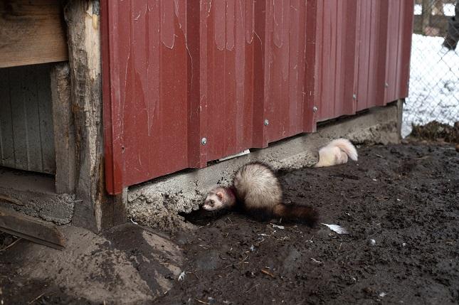 Görényes patkányirtás