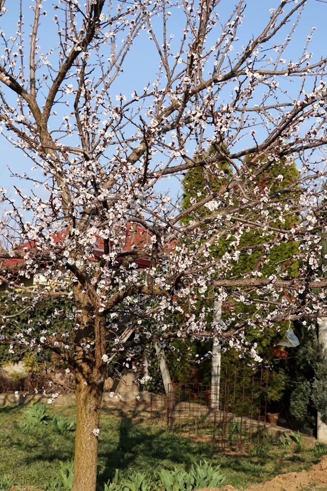 Kajszibarack gyümölcsfa