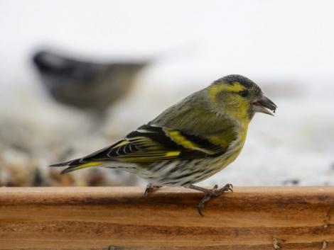Védett madár a kalitkában? Lopással vádolják a salgótarjáni férfit