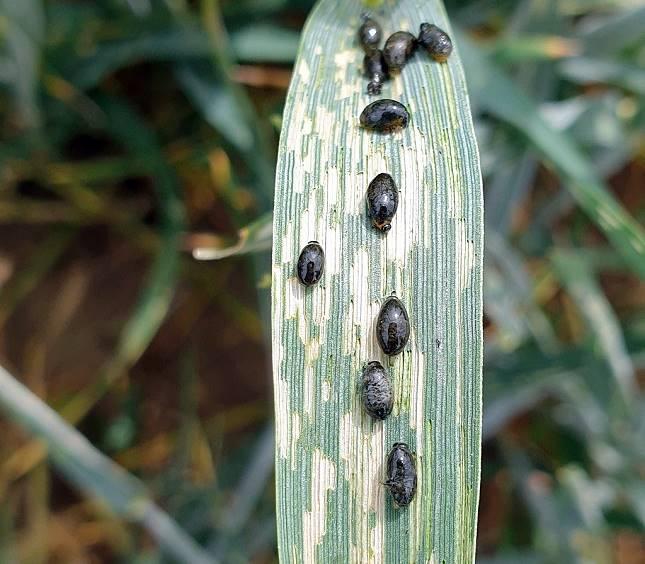 vetésfehérítő bogarak lárvái búzán