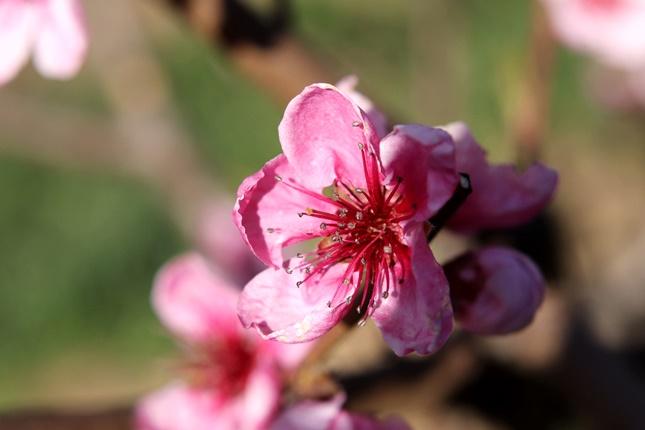 őszibarack virága