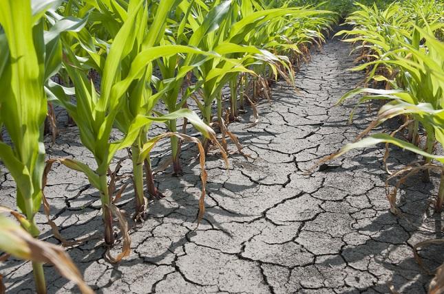 aszály kukoricaföldön
