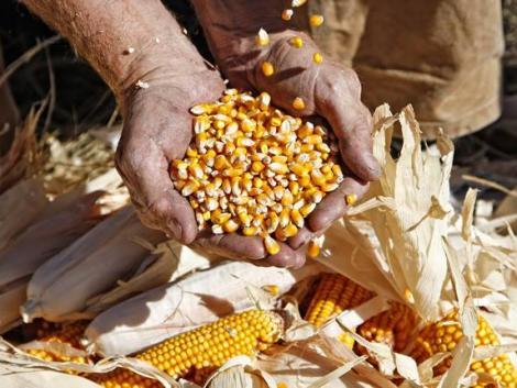 Nagyot drágult a búza és a kukorica – ennyiért cserél gazdát a termény