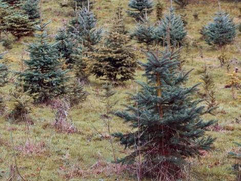 Mától kérhetik a támogatást a karácsonyfa-termesztők