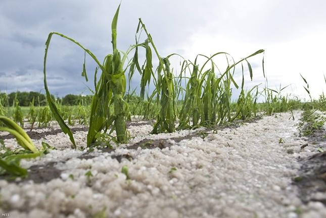 jég tette tönkre a kukoricát