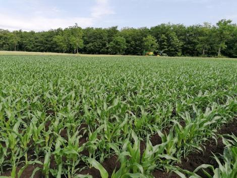Megéri: 3 éve bizonyít ez a kukorica lombtrágyázási technológia