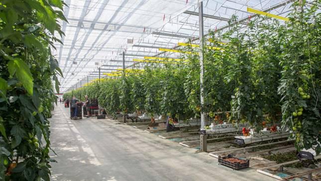 Paradicsom termelés üvegházban.