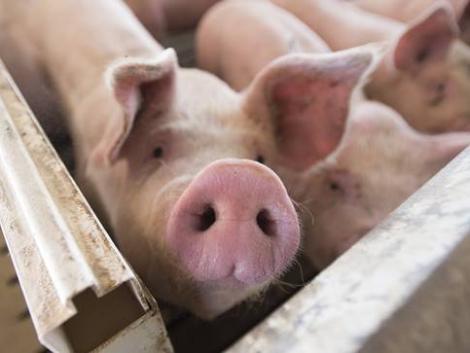 Brutális pusztítást végez a román sertésfarmokon a gyilkos kór