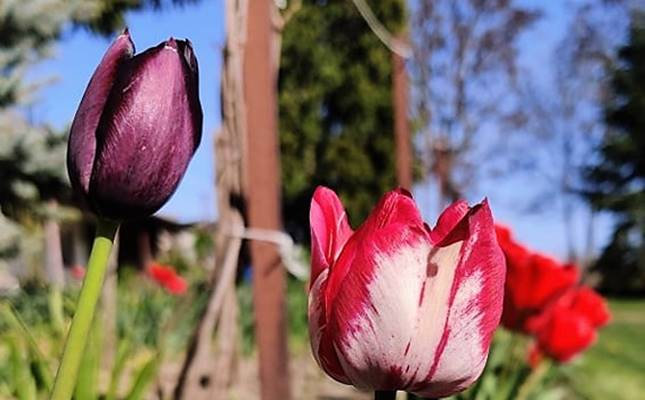 Tulipán vírusa