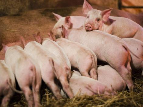 Állattenyésztés: a növekvő takarmányárak ellenére javultak a kilátások