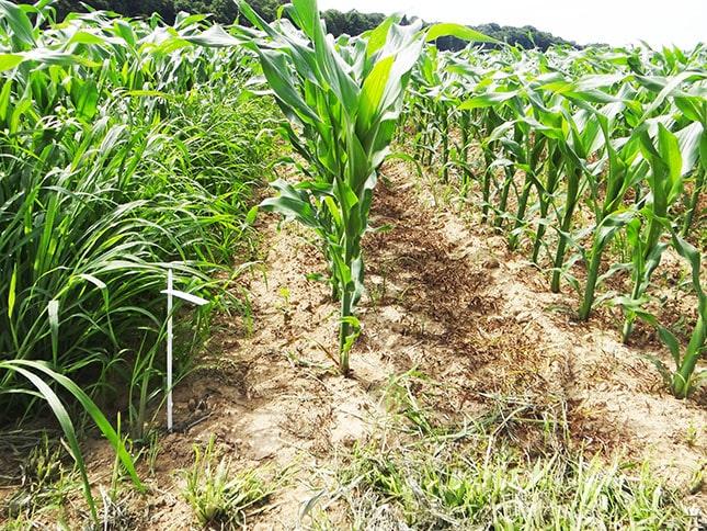 gyomnövényekkel erősen fertőzött kukorica