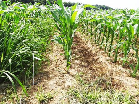 Egy kedvező árú terméket keres a kukorica posztemergens gyomirtására? Milagro® Plus a megoldás!
