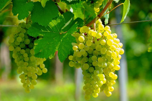 A szőlőre komoly veszély a lisztharmat