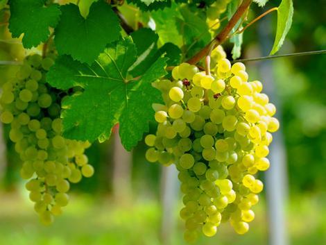 Így könnyebb megvédeni a szőlőt