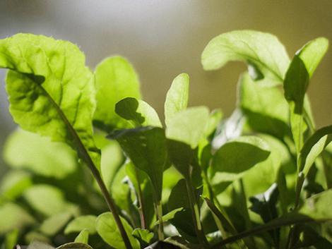 A BIO növényvédelem újítása: fátyolka petékkel a levéltetvek ellen