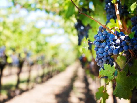 A 21. század legnagyobb katasztrófáját élte meg a francia szőlészet