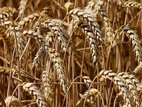 Elatus Era – Kimagasló védelem és termésstabilitás a kalászosoknak minden évjáratban