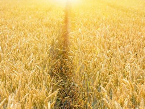 Még nincs késő formába hozni a búzát! – Mire van szüksége tavasszal a gabonának a tápanyagon túl?
