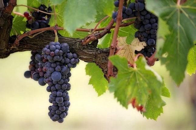 Milyen a kóser szőlő?