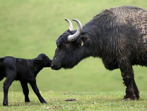 Cukiságbomba: bivalyborjú és több tucatnyi újszülött a vadasparkban – KÉPEK