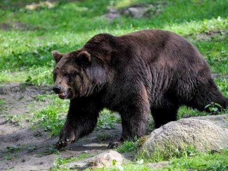 Európa legnagyobb barnamedvéjét lőtte ki törvénytelenül Liechtenstein hercege