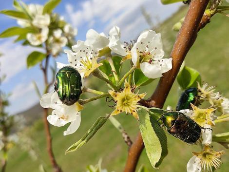 Növényvédelmi előrejelzés: Most kell nagyon figyelni a cseresznyére és az almára!