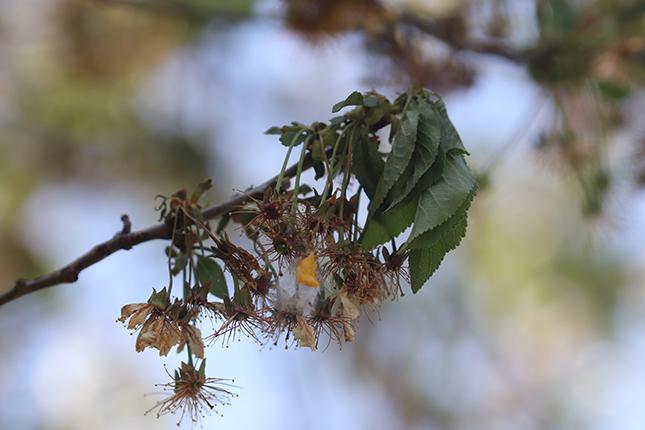 A virágzás végén megjelent a moníliás virág- és hajtásszáradás meggyen