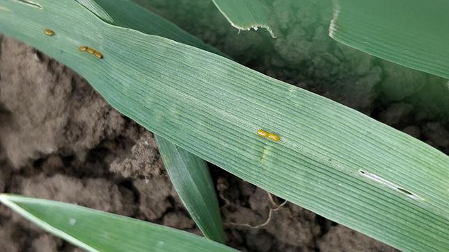 A vetésfehérítő bogár tojásai búza levelén