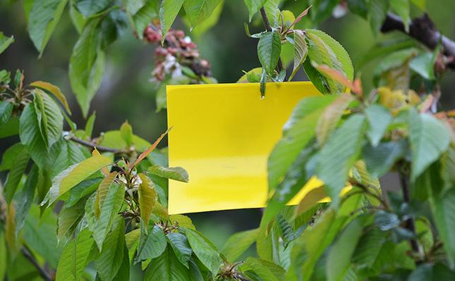 Ragacsos sárga lap cseresznyefán