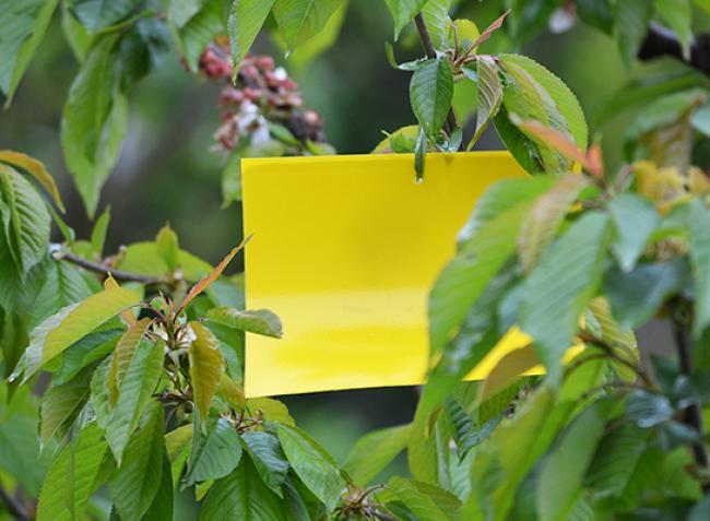 Cseresznyelégy ellen rovarcsapda? Így használd helyesen a sárga lapot