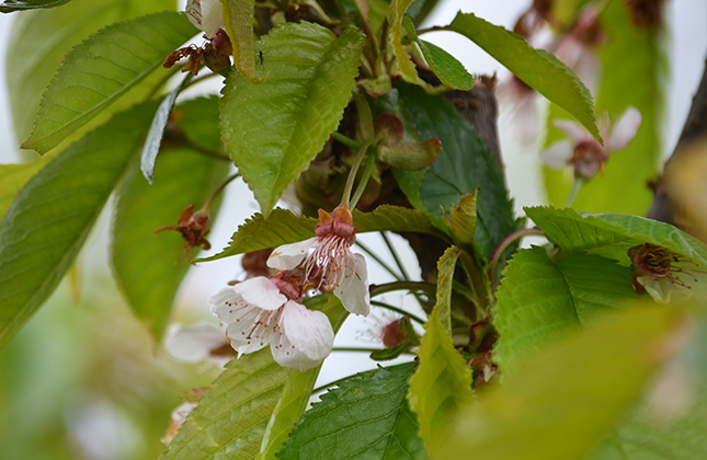 Cseresznyefa virágzás