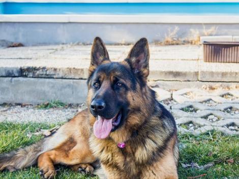 Megpróbálta megmérgezni a szomszéd kutyáját, de az állat túljárt az eszén – videó