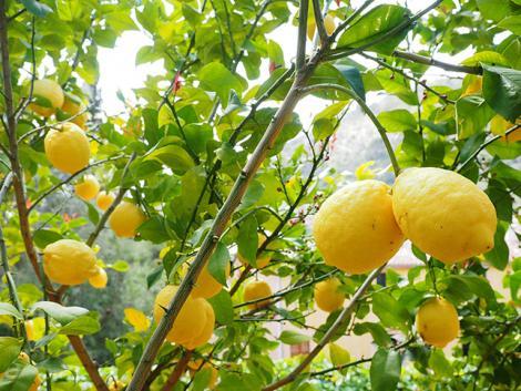 A citromfa gondozása és metszése