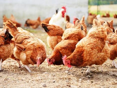 Betört a madárinfluenza Erdélybe – 180 ezer szárnyast kell leölni