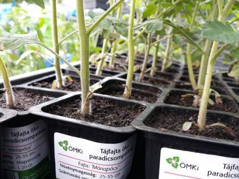 Valami különlegeset termesztenél? Próbáld ki ezeket a tájfajta paradicsomokat!