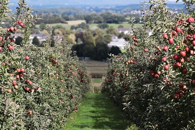 almafa ültetvény