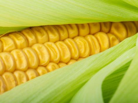 A biotermesztés növeléséhez engedélyezni kell a génsebészetet?