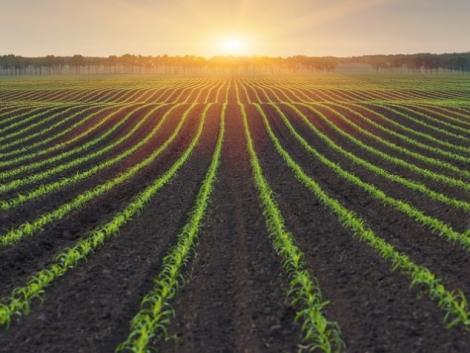 Kukorica gyomirtása változó gyomviszonyok mellett