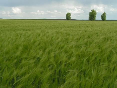 Integrált növényvédelmi szemlélet kalászos kultúrákban – nézze meg a KITE ajánlatát